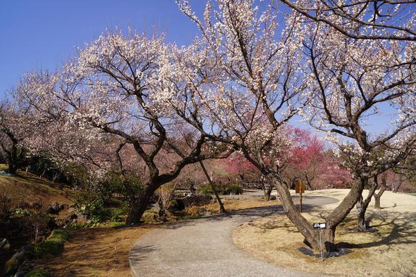 小田原フラワーガーデンの梅まつりの画像