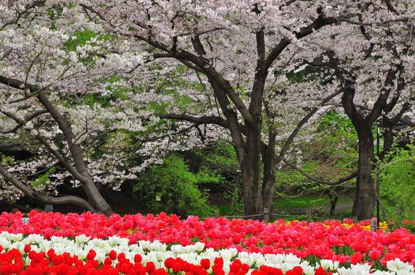 大和の「ふれあいの森」で桜とチューリップが夢の共演
