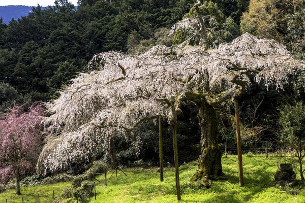 長興山紹太寺のしだれ桜で感動体験!の画像