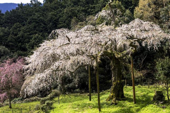 長興山紹太寺のしだれ桜で感動体験!