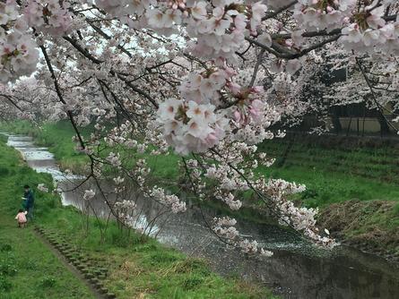 野川沿いに続く桜の遊歩道
