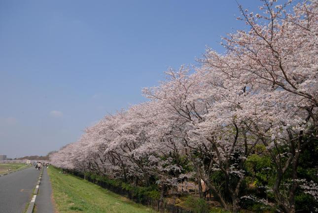 多摩川沿いでお花見散歩!