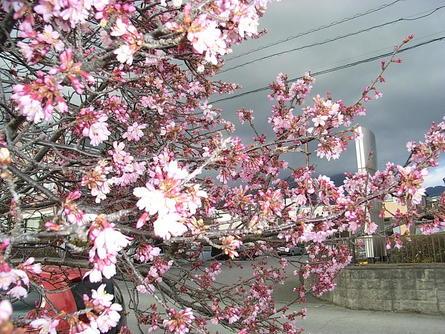 秦野・おかめ桜が見頃迎える