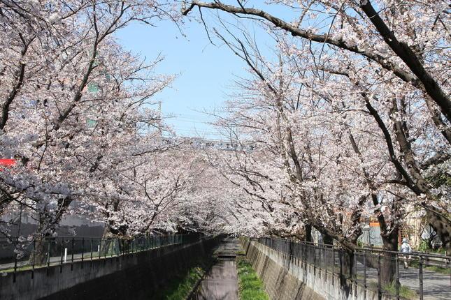 桜トンネルが圧巻!ライトアップも