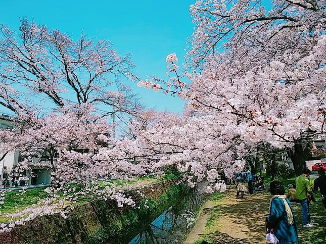 引地川沿い~千本桜