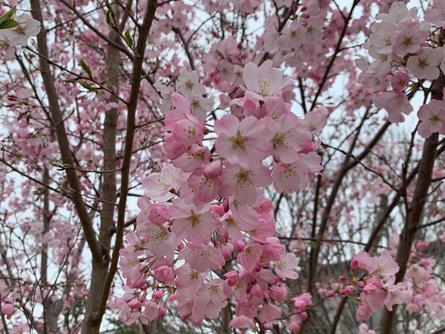 お散歩におすすめ!桜並木