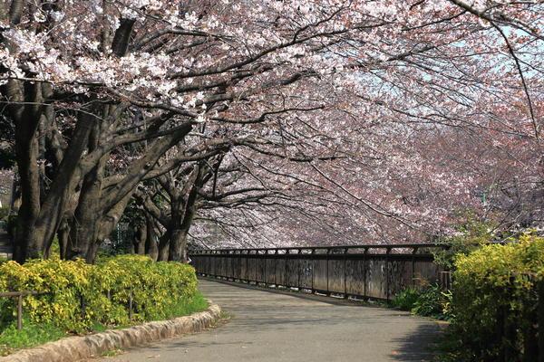 アメリカからやってきた里帰り桜でアメリカンな気分