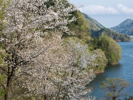 丹沢山で山桜に出会おう!