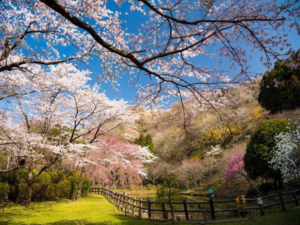 いろんな種類の桜を楽しめる最明寺史跡公園の画像