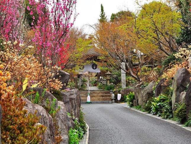 常泉寺を彩る、春のミツマタ