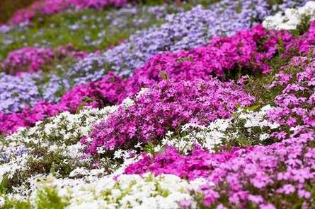 芝桜を見るなら「相模川芝ざくらまつり」がおすすめ!桜の道を走り抜けよう!
