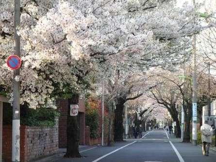大正から続く成城のお花見イベント!「成城さくらフェスティバル」をご紹介