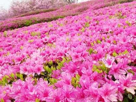 4万株を超えるツツジが咲き誇る「あいかわ公園つつじまつり」にお出かけ!