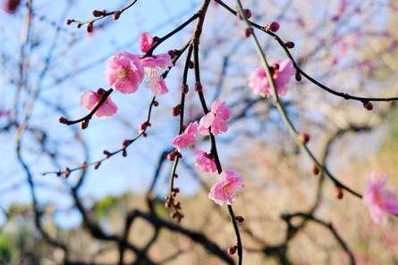 生田緑地の梅便り!咲き始めました