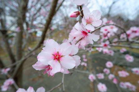 城址公園に咲くアーモンドの花
