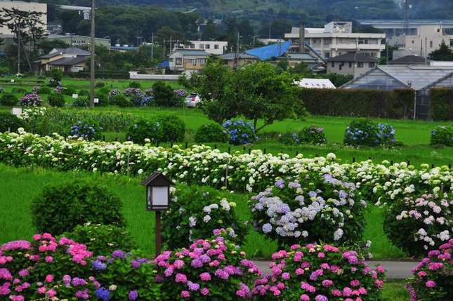 梅雨の祭典「開成町あじさいまつり」でイキイキとしたあじさいを撮影しよう!