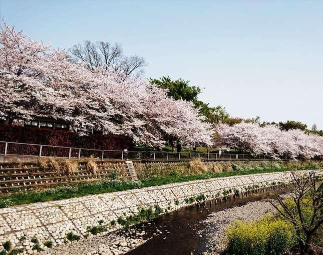 「やとばし」から眺める野川の桜はまだ満開です!