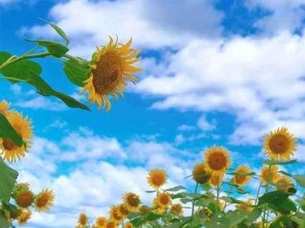 黄金色のひまわり畑が広がる「座間市ひまわりまつり」にお出かけしよう!