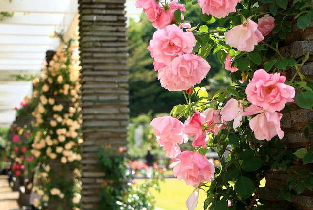 生田緑地 満開のばら苑で甘い香りに包まれよう!