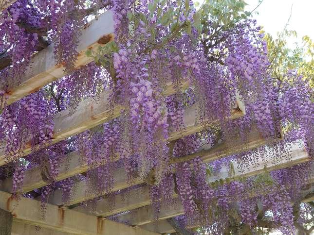 市の花、藤が満開