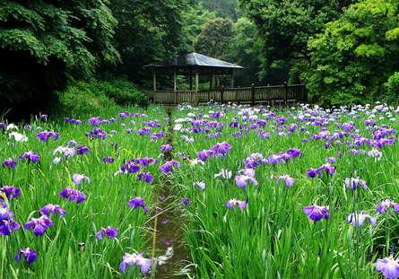 生田緑地でしっとり鮮やか花ショウブを!