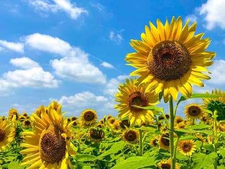 フォトジェニックな写真を撮りに「早野ひまわり畑」に行ってみよう!