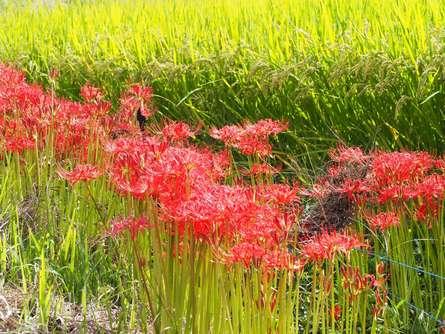 一面に咲く彼岸花が美しい!今年の秋は「小出川彼岸花まつり」で決まり!
