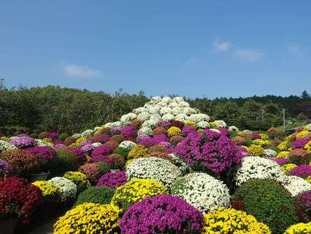 美しい菊の花を静かに楽しめる!ざる菊園で菊観賞にお出かけしよう!