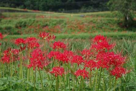 里山に咲く彼岸花
